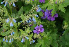 Photo of Kostival – léčivá bylinka našich babiček, která pomůže i vám