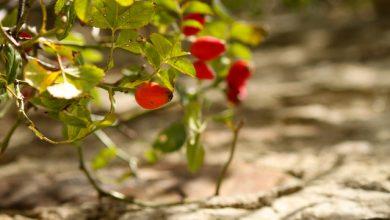 Photo of Natrhejte si lesklé červené drahokamy. Čas máte ještě zhruba do konce října.