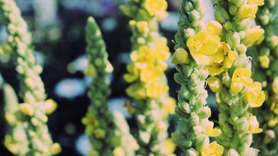 Photo of Divizna – bylinka, která vám pomůže od otravného kašle
